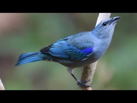 Baixar Canto do SANHAÇO-DE-ENCONTRO-AZUL Thraupis cyanoptera