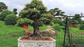 Thăm vườn bonsai đẳng cấp Quốc Tế của chú Dũng Tân nổi tiếng Miền Bắc