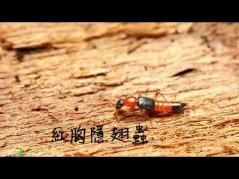 熱血阿傑❤️生態真實體驗隱翅蟲Paederus littorarius