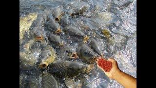FEEDING LIVE FOOD TO FISH