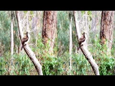 Australian Birds at Home. In 3D or 2D