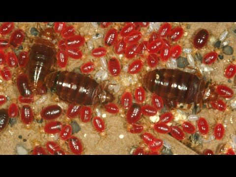 Need To Know Natural Remedies That Get Rid Of Bed Bugs Fast
