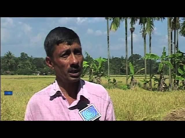 Gandhakasala Rice in oblivion says farmers