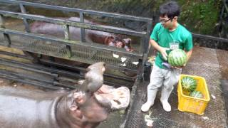 Hippo Family Eating Watermelons&Baby hippo @Nagasaki Japan