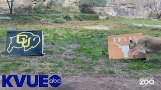 Lions at San Antonio Zoo pick Texas Longhorns to win Valero Alamo Bowl | KVUE