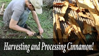 Harvesting and Processing Cinnamon