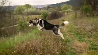 My siberian husky Harry Potter jumping like a rabbit in the field