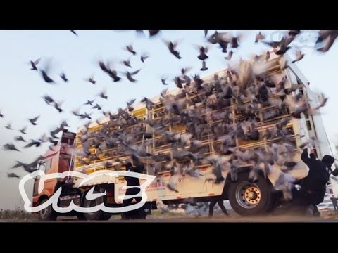 China's Millionaire Pigeon Racers (Trailer)
