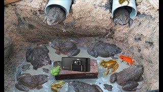 """Bẫy Ếch Đồng Như Thế Này Thì """"Tuyệt Chủng"""" Là Chắc Rồi .Amazing Frog Trap .Best Frog Traps"""