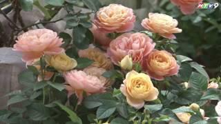 Độc đáo vườn hoa hồng cổ quý hiếm tại Hà Nội - HTV9