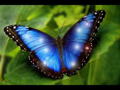 Most Beautiful Butterflies on Earth are 7 MORPHO IS ONE ...  Most Beautiful ...