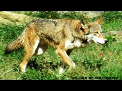 Rare Red Wolfe Separate Species, Severely Endangered