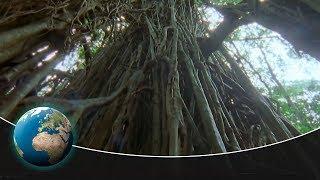 The Strangler Fig – An unbelievable tree killer