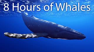 8 Hours of Whale Sounds