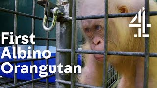 Will World's 1st Albino Orangutan Be Accepted By the Others? | Orangutan Jungle School