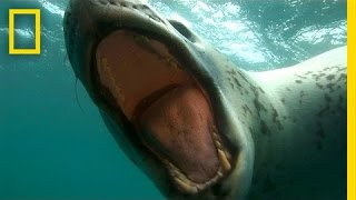 Diver Encounters Deadly, 13-Foot Leopard Seal | National Geographic