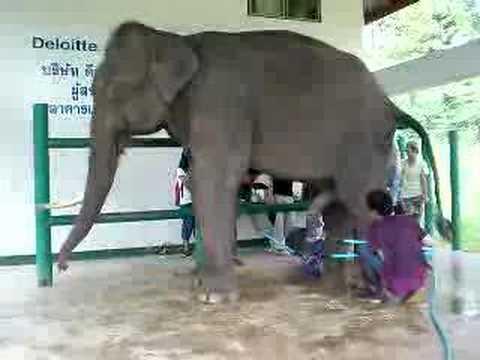 Uzimanje sperme (ejakulata) od slona