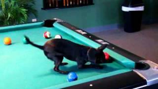 כלב משחק ביליארד