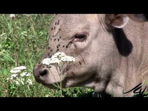 Beef recall - fly infested cows in the forest and food safety -  YouTube