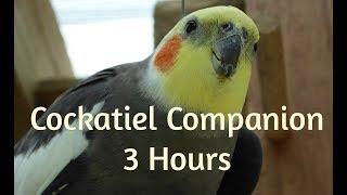 Cockatiel Companion 3 HOURS OF COCKATIELS!!!