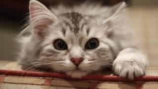 Tiếng Mèo Kêu HD - Sound Effects