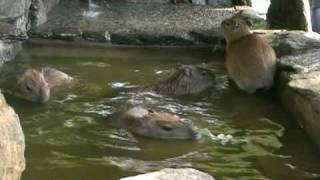 カピバラ入浴2