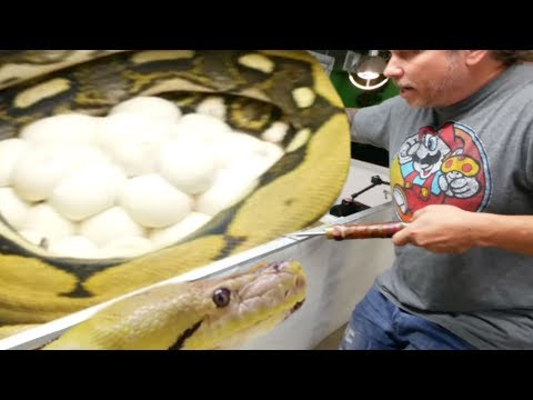 REMOVING HUGE CLUTCH OF EGGS FROM A GIANT PISSED OFF SNAKE!! | BRIAN BARCZYK