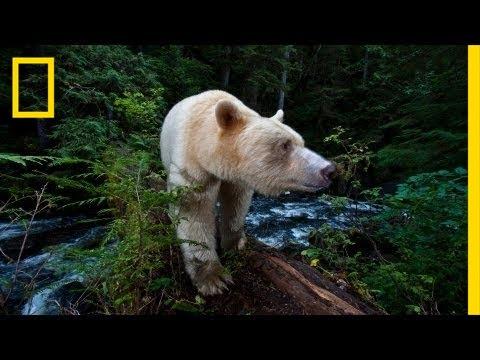 National Geographic Live! - Capturing the Spirit Bear | Nat Geo Live