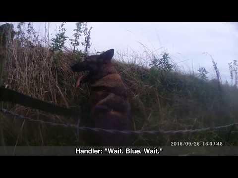 Good boy: Police Dog Blue catches criminal
