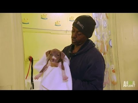 Meet Will, The Puppy Man   Pit Bulls And Parolees - Smashpipe Entertainment