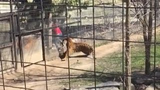 Woman Climbs Over Tiger's Fence at The Zoo To Get Her Hat Back