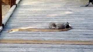 Squirrel vs snake