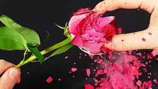 EXPERIMENT: LIQUID NITROGEN VS ROSE