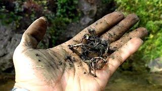 Trị bệnh Râu tóc bạc sớm bằng cây thuốc quý mọc nhiều ở bờ ruộng
