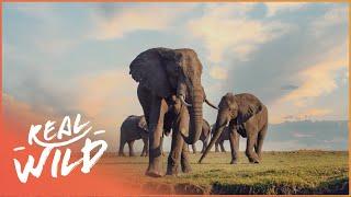 Heart Of The Okavango: Island Of Lions [African Predators & Preys Documentary] Real Wild