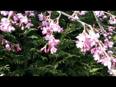Prunus pendula 'Pendula Rubra' Tree