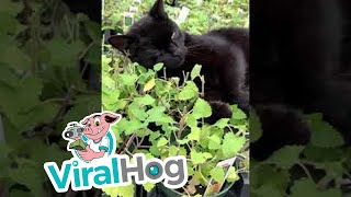Black Cat Basking in Greenhouse Catnip || ViralHog