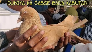kabutar ko hath pe kaise bithae ( how to hold pigeon on our