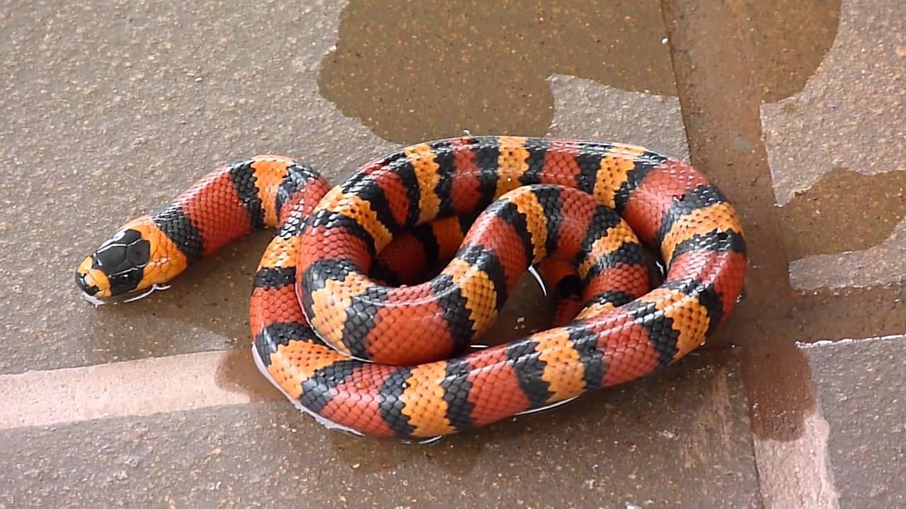 Lampropeltis triangulum (Falso coral o Milk Snake) 03 ...