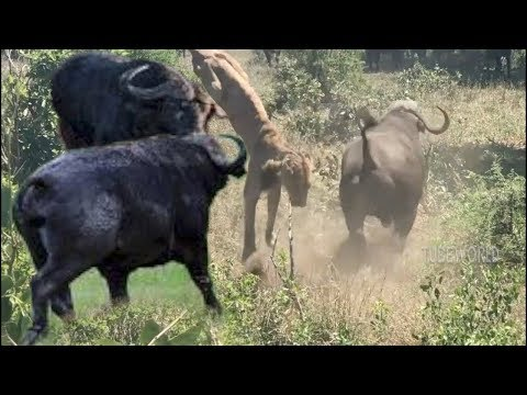 Smart Buffalo Fight Back Send The Lion Up On The Air