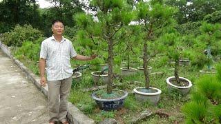 SH.1460.Cách bổ vặn và chăm sóc cây Thông của nghệ nhân Ngân tại núi Côn Sơn.Chí Linh.Hải Dương.