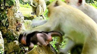 Mom Much Concern Baby Monkey, Big Monkey One Try Grab Baby From Mom.