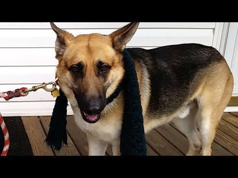 Meet Hank, a German Shepherd from North Carolina. Hank will be reunited with his human, deployed military personnel, Jerry in late March 2020.