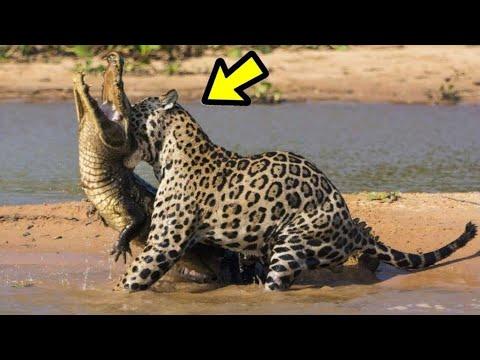 10 Momentos Cuando Te Metes Con El Animal Equivoca Ep. 7   jaguar, Caimán   LA LEY DEL MÁS FUERTE