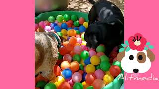 #funnypetvideos#funnydogs#animals  Try Not To Laugh At This Ultimate Funny Dog Video Compilation |