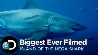 The Biggest Great White Ever Filmed | Island of the Mega Shark