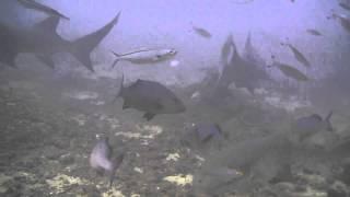 オオメジロザメ18