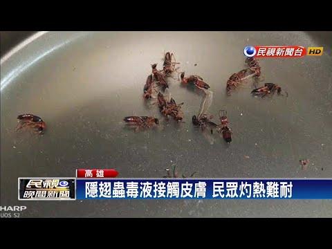 一晚打死10幾隻隱翅蟲 民眾:罷免絕對投韓-民視新聞