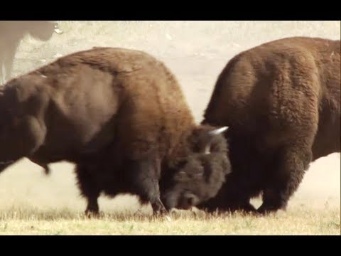 Bison Battle | Yellowstone | BBC Earth