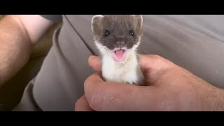 Tiny Baby Stoat Has The Best Reaction #Short
